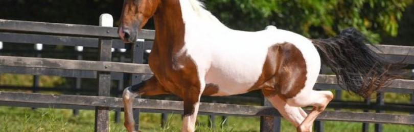 Камполина порода лошадей