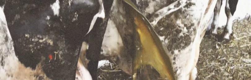 Ацидоз рубца у коров