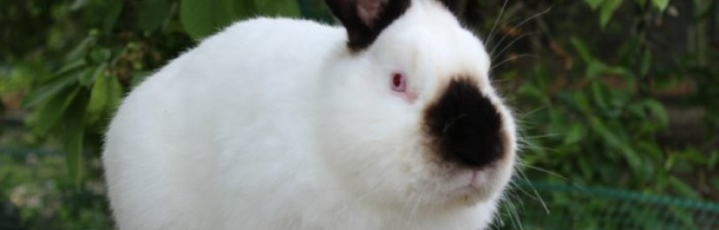 Какие бывают породы кроликов?