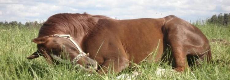 Как спят лошади?