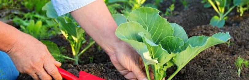 Почему плохо завязывается капуста в открытом грунте?