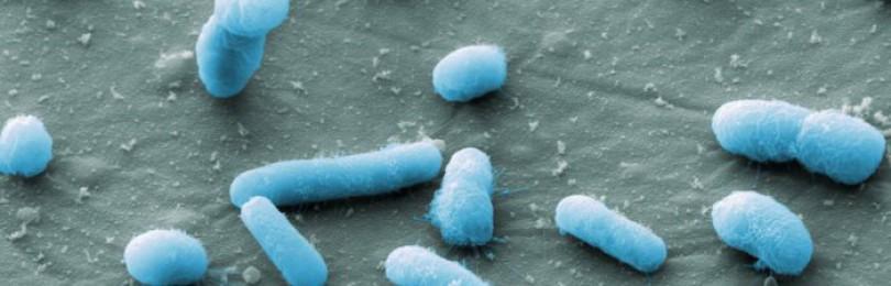 Как лечить колибактериоз у кур?