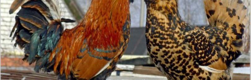 Павловская порода кур – описание