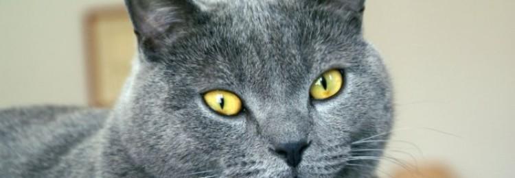 Картезианская кошка (шартрез)