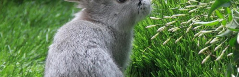 Почему кроликам нельзя давать мокрую траву?