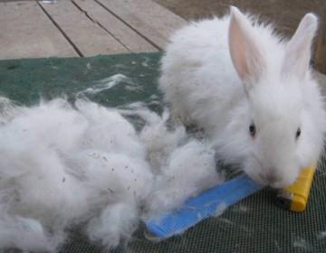 Когда происходит линька у кроликов, сколько она длится?