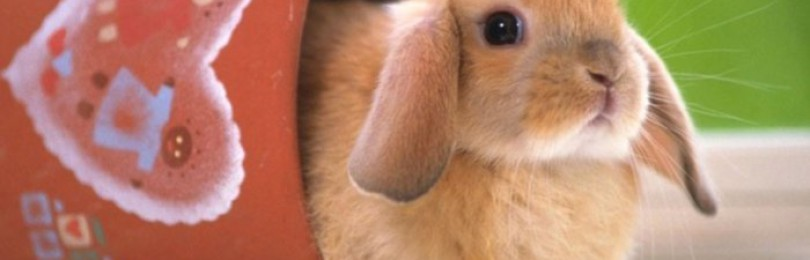 Все об уходе за вислоухими кроликами
