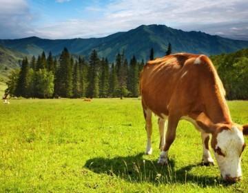 Где и как пасти коров?