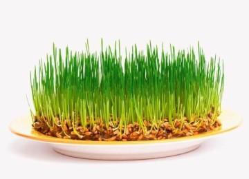 Можно ли кормить кроликов пшеницей?