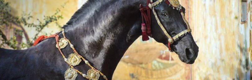 Порода лошадей марвари