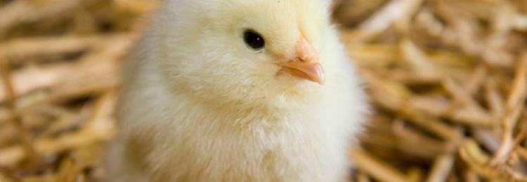 Чем кормить цыплят несушек?