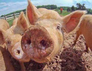 Летне-пастбищное содержание свиней