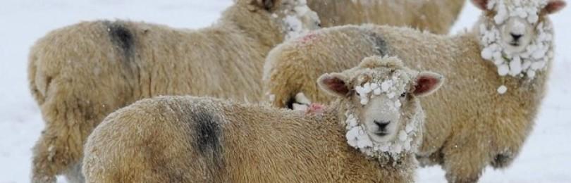 Содержание овец зимой