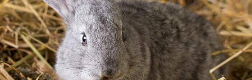 Кролик скрипит зубами и плохо ест