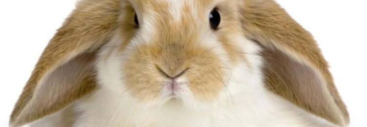 Что делать, если у кролика горячие уши?