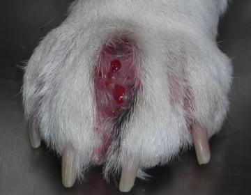 Как лечить пододерматит (натоптыши) у кроликов?