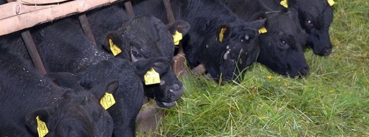 Разведение бычков на мясо в домашних условиях