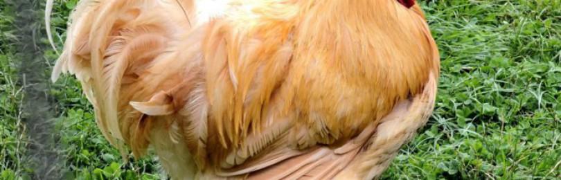 Крупные породы кур