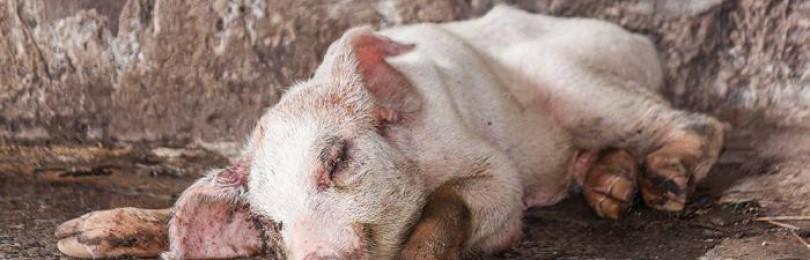 Пастереллез свиней