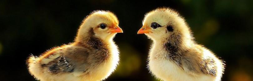 Приспособления для обогрева цыплят