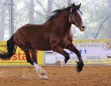 Тяжеловозные породы лошадей
