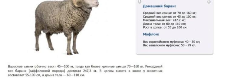 Средний вес овцы