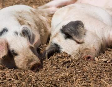 Сибирская язва у свиней