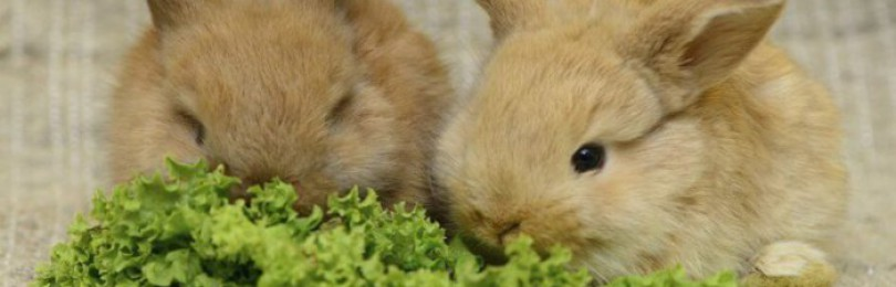 Содержание и уход за декоративным кроликом в домашних условиях