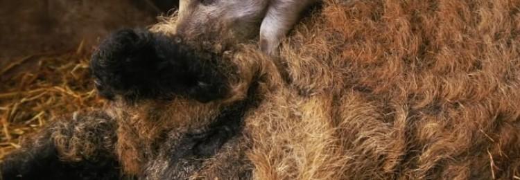 Существующие разновидности сальных пород свиней