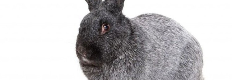 Порода кроликов Полтавское Серебро