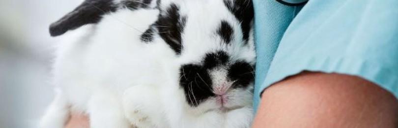 Ушные болезни кроликов и их лечение