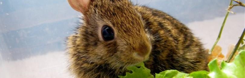 Вредны или полезны листья салата кроликам?