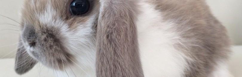 Домашние карликовые кролики