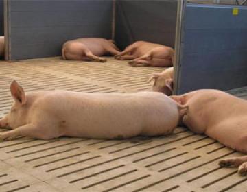 Строительство и оборудование помещений для свиней