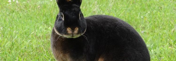 Кролики породы Рекс: содержание и разведение