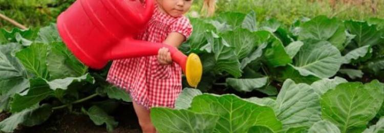 Как полить капусту соленой водой от вредителей?