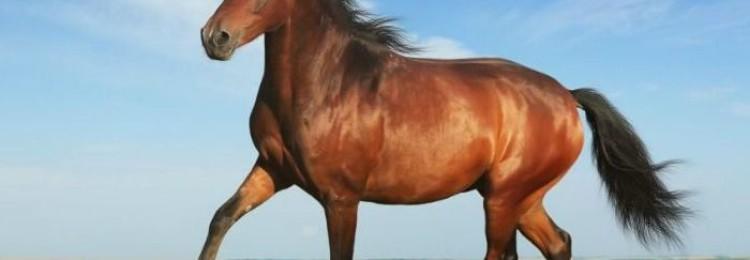 Скаковая лошадь