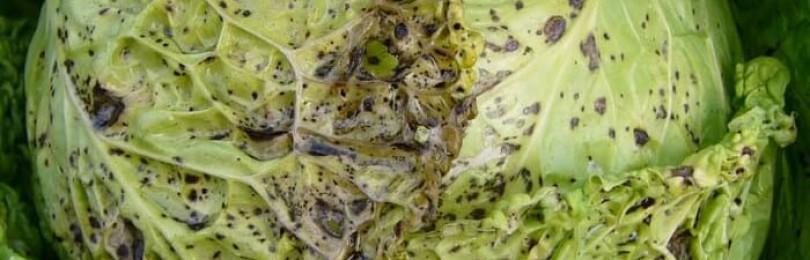 Болезни и вредители капусты