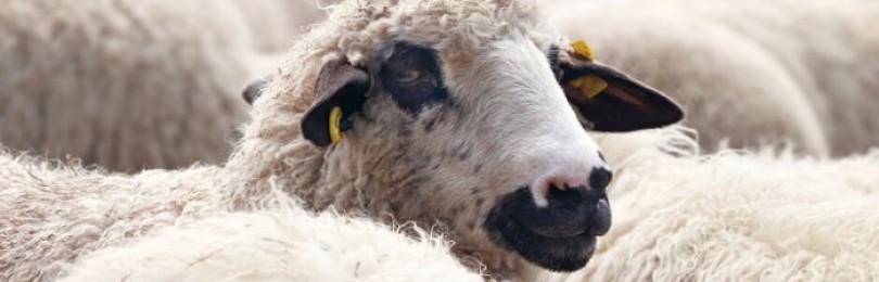 Дагестанская овца