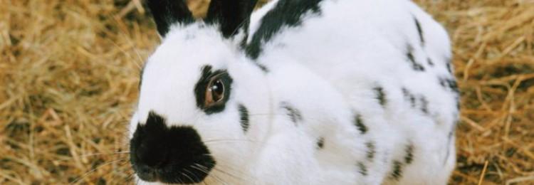 Черно-белый кролик или все о Датской породе