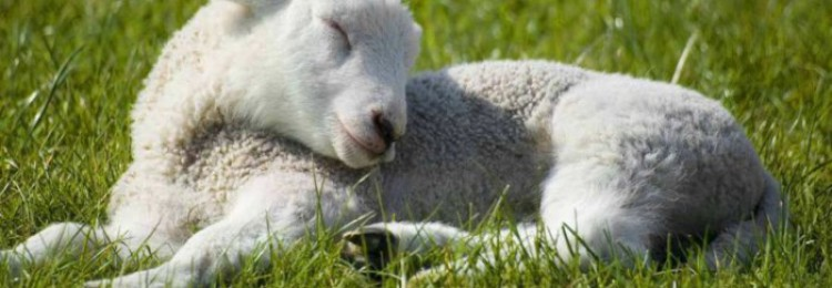 Почему овцы лысеют?