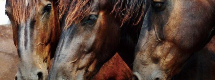 Каурая масть лошади