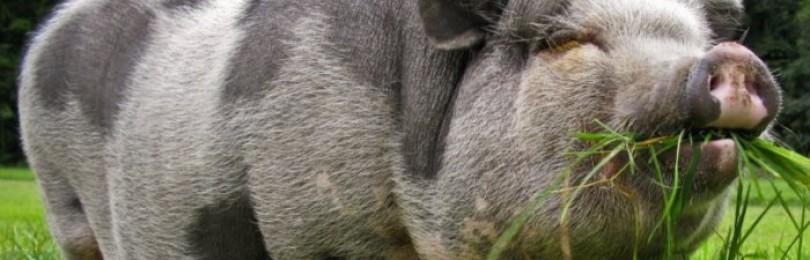 Cколько раз свинья ест в сутки?