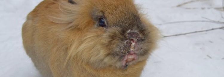 Как лечить инфекционный стоматит у кроликов?
