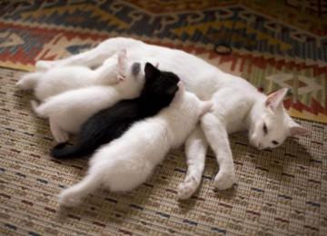 Лечение мастита у кошки в домашних условиях