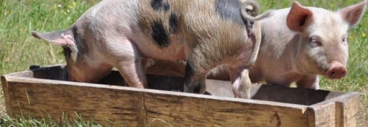 Паратиф свиней
