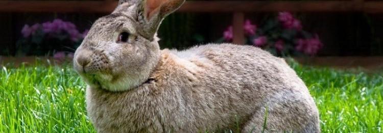 Кролик бельгийский великан