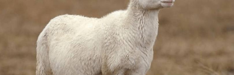 Беременность и роды у овцы
