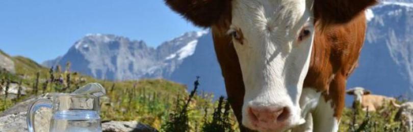Как правильно проводится запуск коровы перед отёлом?