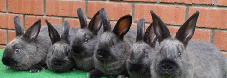 Кролик породы Мардер